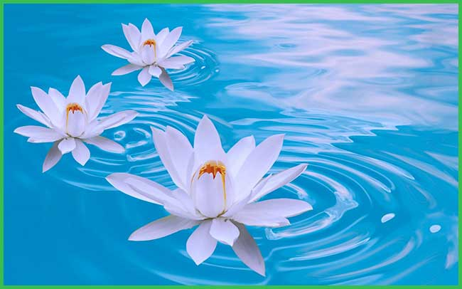 arabian jasmine flowers bath