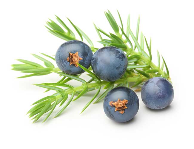 Juniper Berries and Leaves