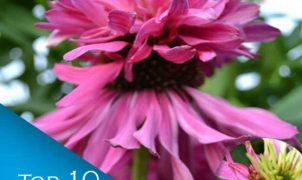 Benefits of Echinacea