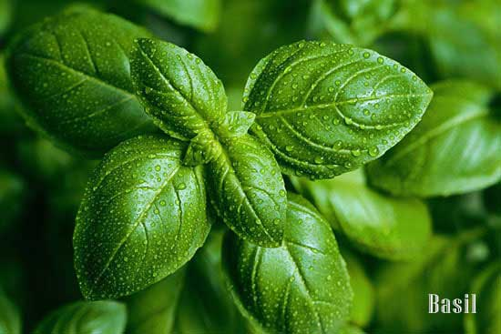 basil leaves for depression