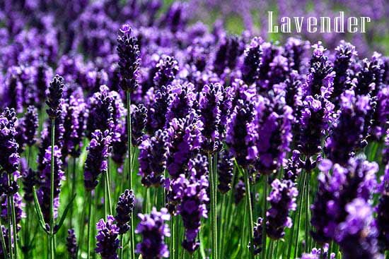 Lavender for depression and anxiety