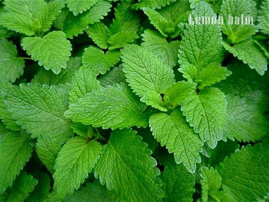 Lemon balm for depression