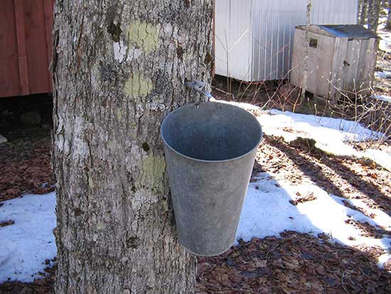 Maple Syrup natural