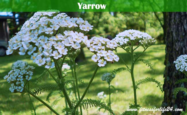 Yarrow for depression